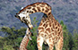 Giraffe and baby, Mara North, Kenya