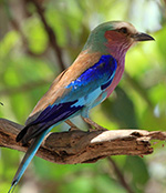 Lilac breasted roller, South Luangwa, Zambia